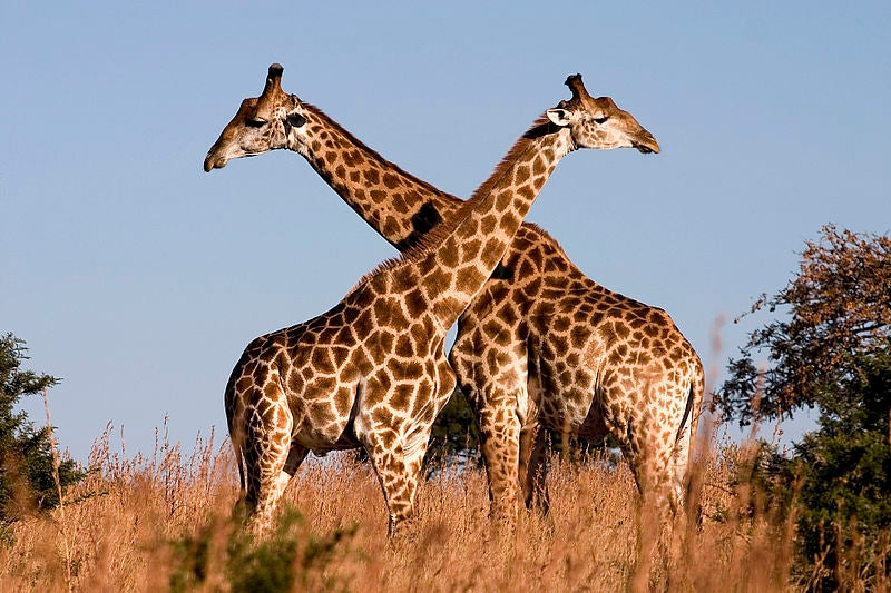 Giraffes Are Headed Toward Extinction