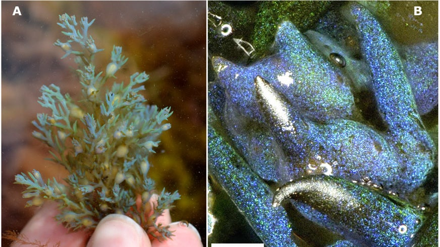 This Glitter-Filled Algae Is A Living Opal