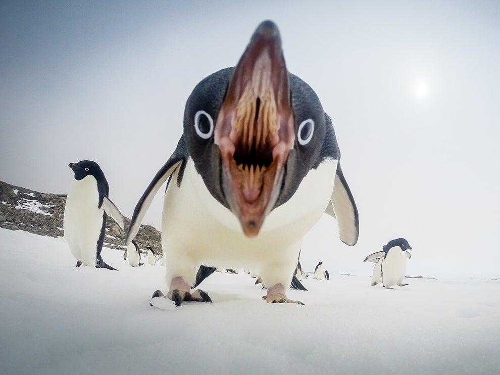 Cute Penguins Get Angry Too