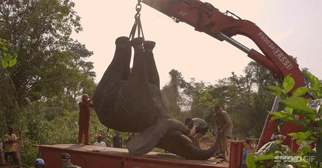 Moving a two-ton elephant looks absolutely crazy