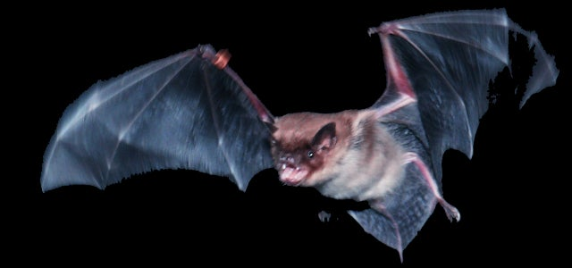 Bats Fly by Touch, Using Sophisticated Sensors in Their Wings