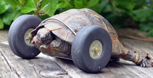 Everything is Better in the World Now That This Tortoise Can Move Again
