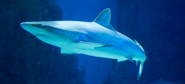 Here's Why Sharks Have Two Penises