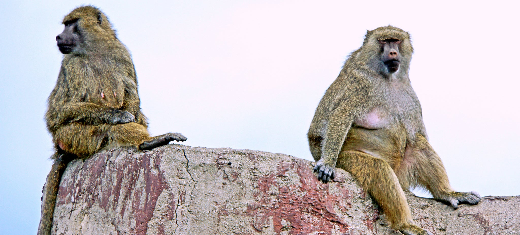 Here's What Baboons Can Teach Us About Social Media