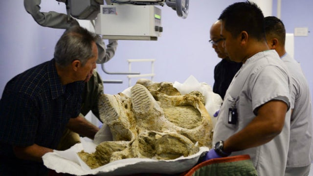Watch A 500,000-Year-Old Mammoth Get Its First X-Ray
