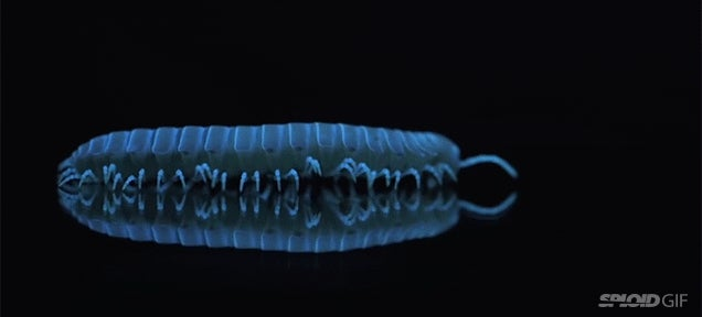 These eerie millipedes glow in the dark because of stress