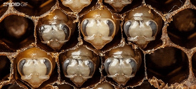 Awesome time lapse shows the entire transformation of bees as they hatch