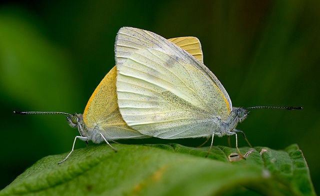Male Butterflies Ejaculate, Female Butterflies Digest