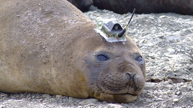 This Seal Has A Sensor On Its Head For Gathering Data About Antarctica
