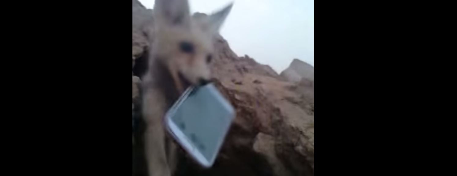 Beware the Phone-Hungry Foxes