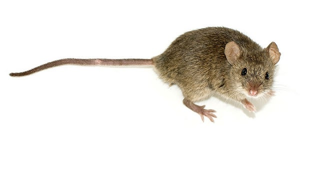 In Mice, A Hormonal Switch Turns Off The Smell of Sex