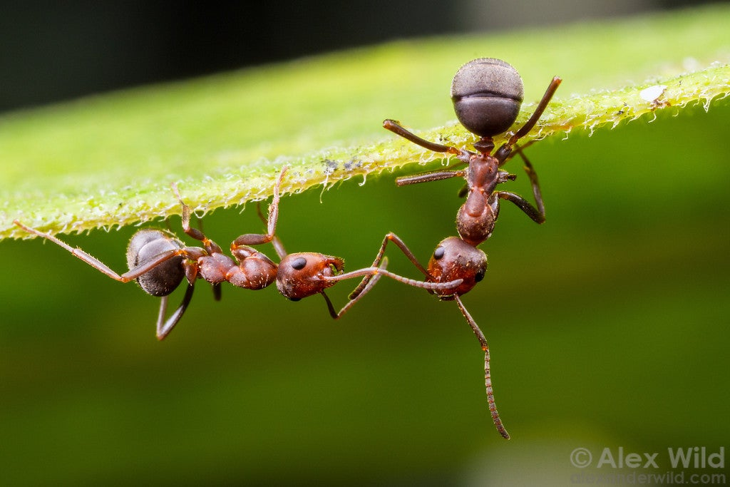 Some Intriguing New Hints About What Ant Consciousness Is Really Like