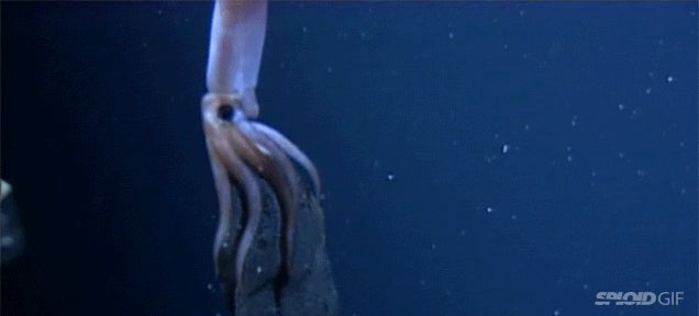 Video: The breathtaking star-like beauty of a giant squid giving birth