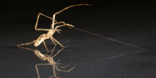 Spiders Sail Across Water to Colonize the World