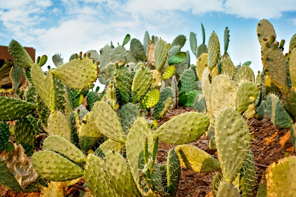 This Humble Cactus Could Help Fuel Our Drought-Stricken World