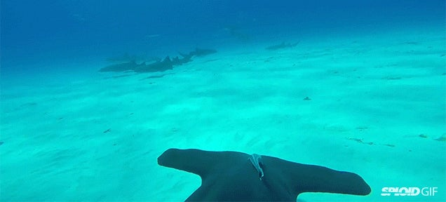 Watch a hammerhead shark swim in the ocean from the shark's perspective