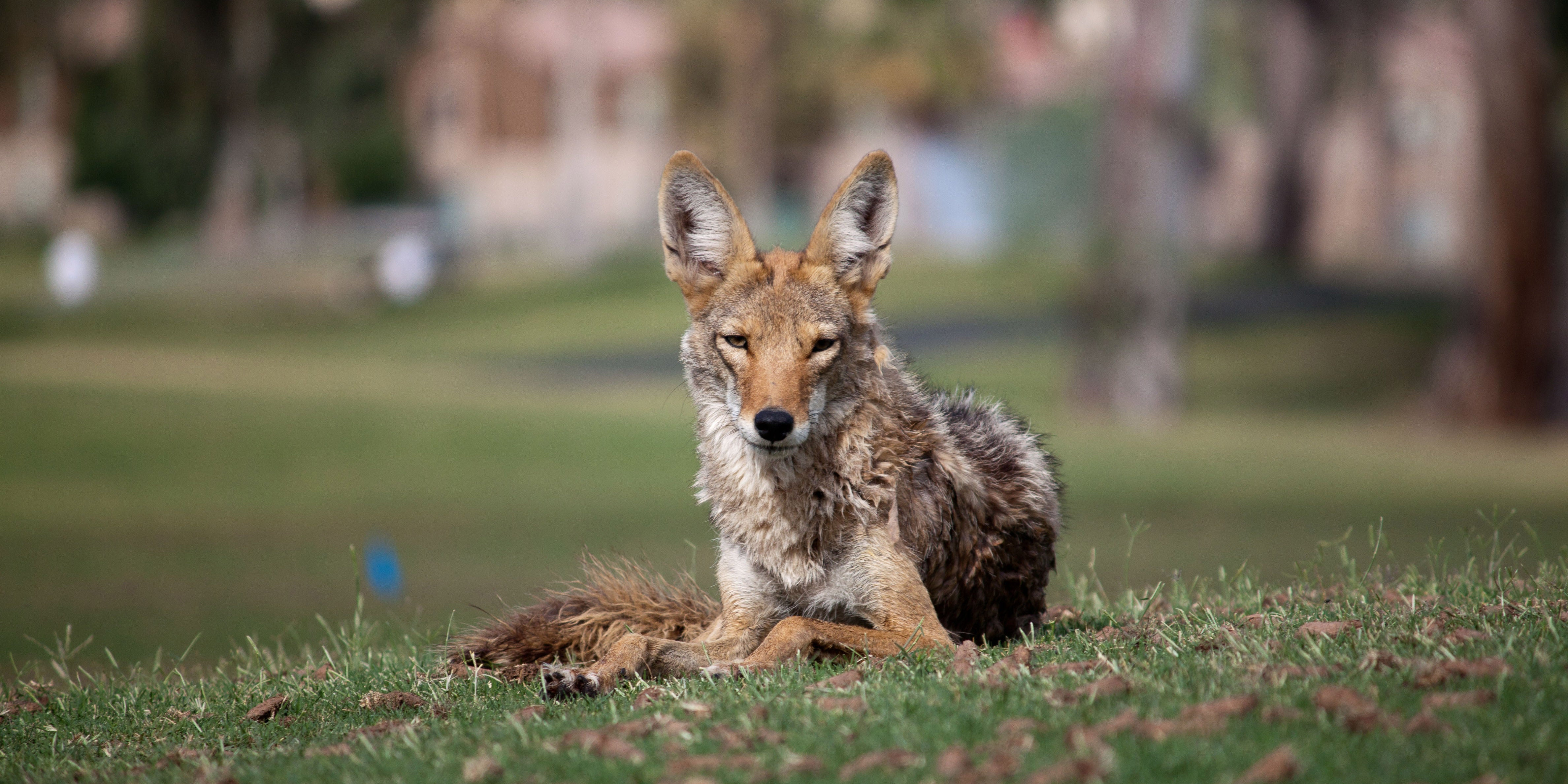 How Cities Are Adapting to More Coyotes, Cougars and Urban Wildlife