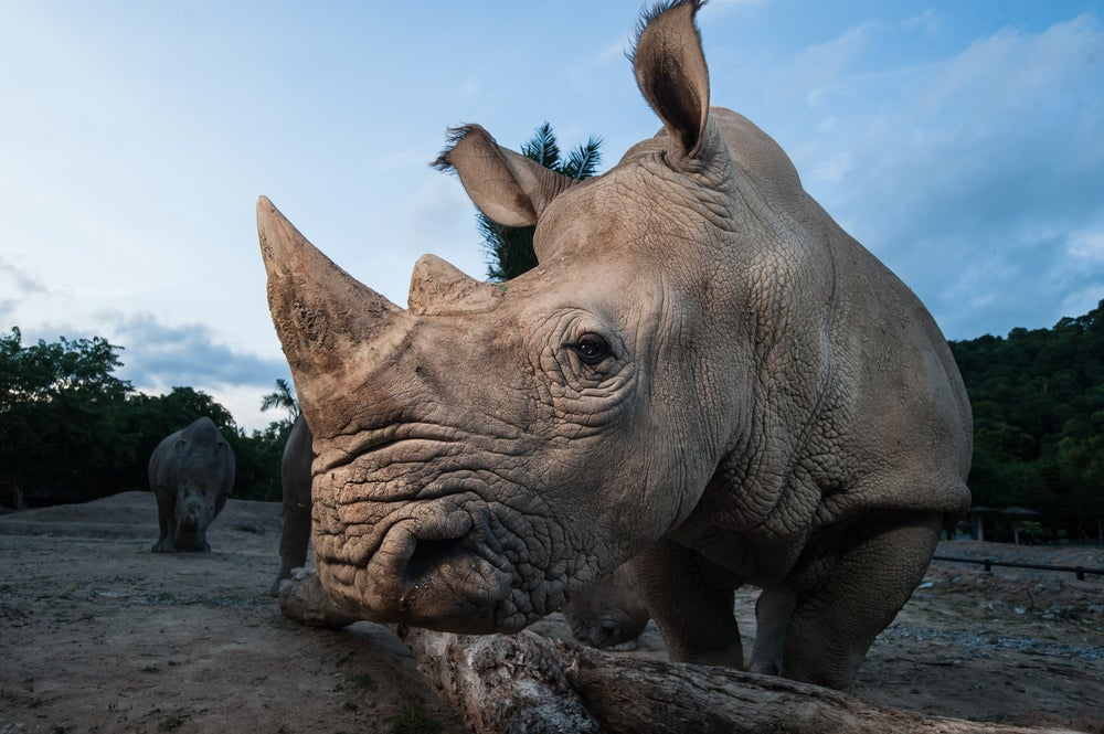 The Controversial, Mad Science Strategy to Save Earth's Rhinos