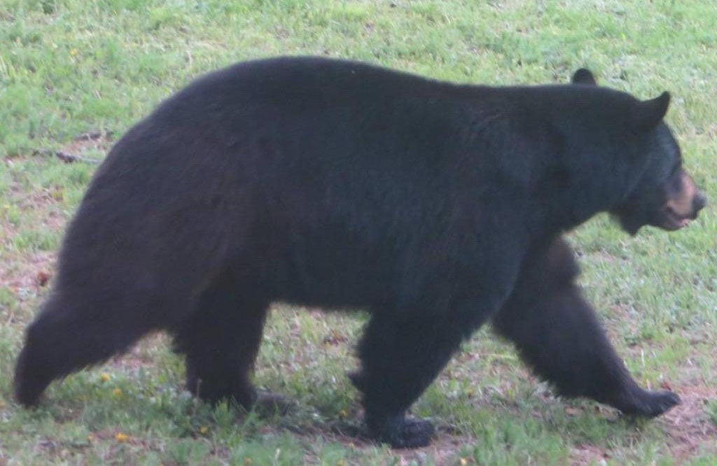 Bear Breaks into Pie Shop and Devours 38 Pies, Skips the Rhubarb