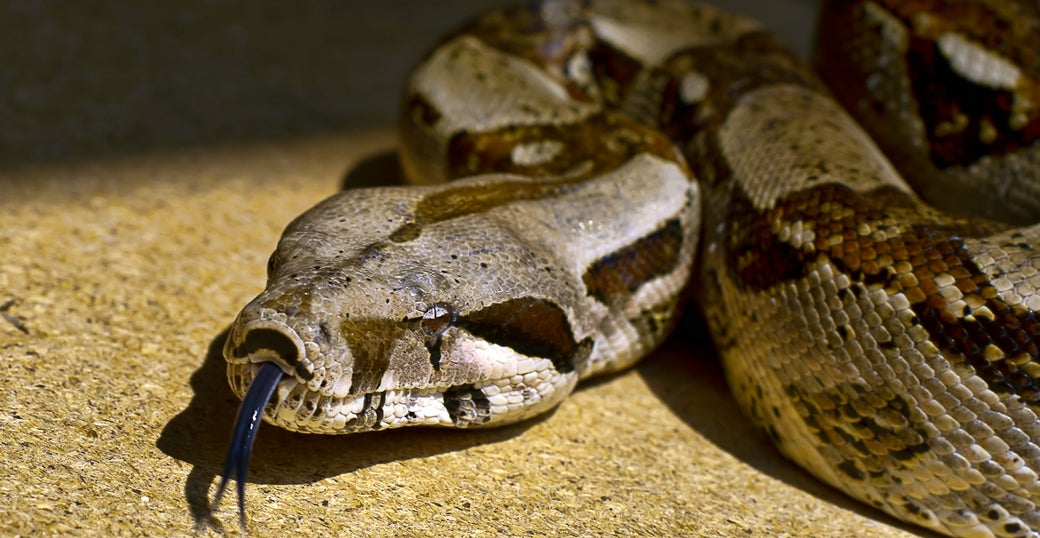 The Way Boa Constrictors Kill Is Even Creepier Than We Thought