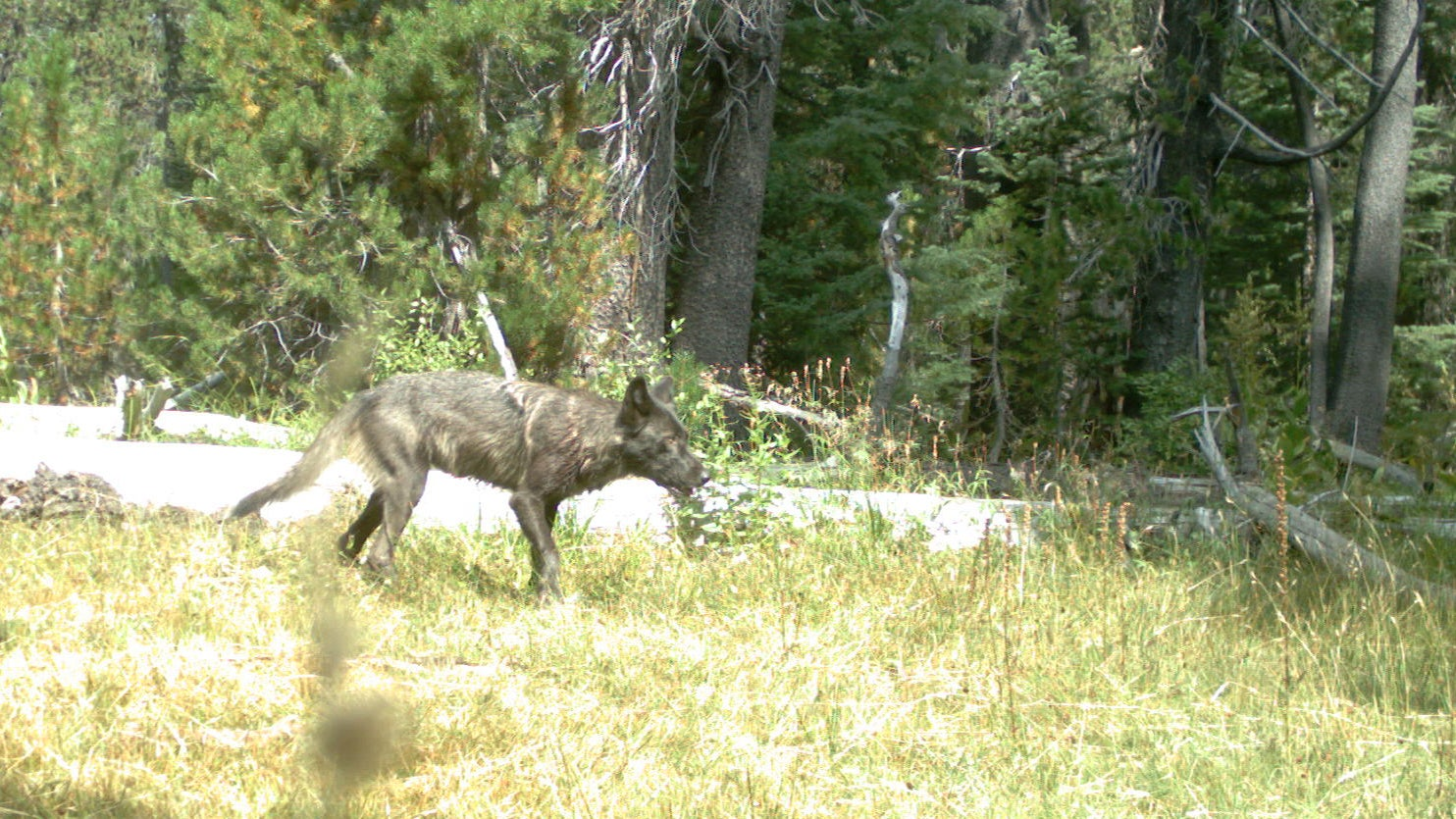 Wolves Return To California