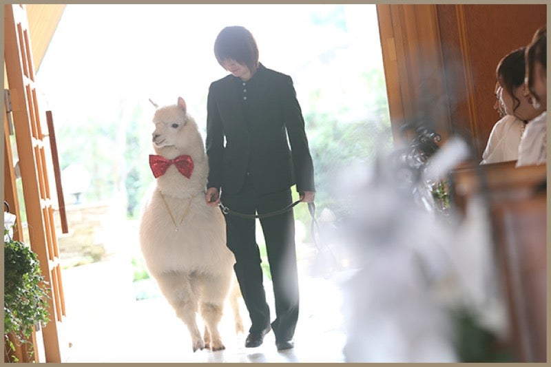 Unusual Japanese Wedding Plan: Get Married with an Alpaca