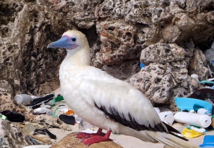 Seabirds Are Eating Tons of Plastic, and the Problem is Getting Worse