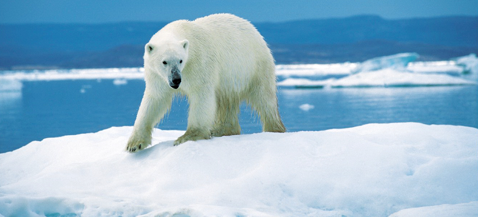 Polar Bears May Survive by Hunting Caribou as Arctic Ice Melts