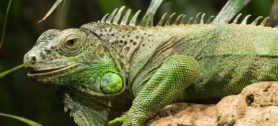 Fine Dining May Solve Puerto Rico's Invasive Iguana Problem