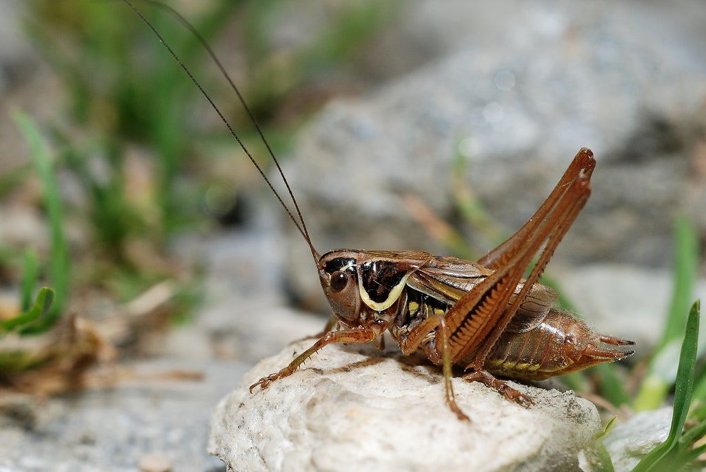 This Cricket Courts His Mate During Sex by Tapping Her With Tiny Penis Drumsticks