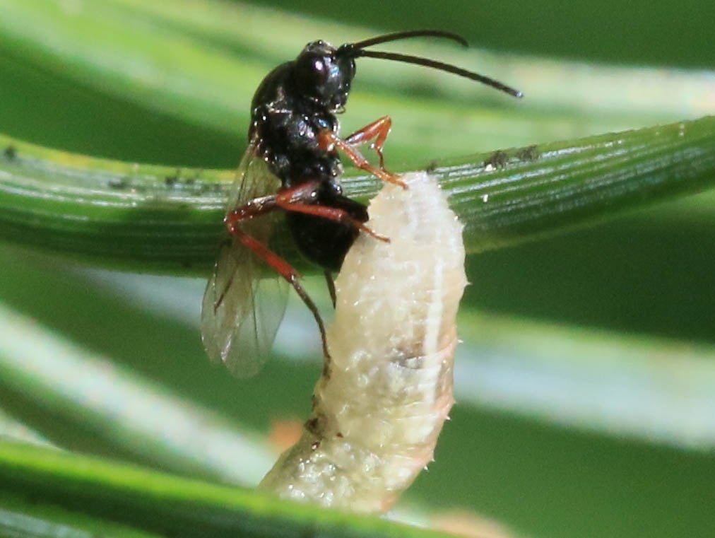 Parasitic Wasps Genetically Enslave Butterflies