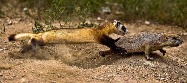 Black-Footed Ferrets Recover from Near-Extinction -- Thanks to Artificial Insemination