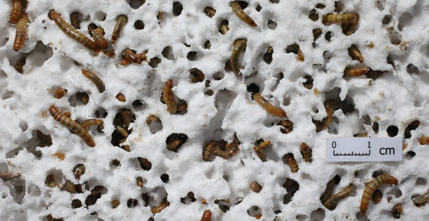 Styrofoam-Chomping Mealworms Can Help Solve Our Trash Problem
