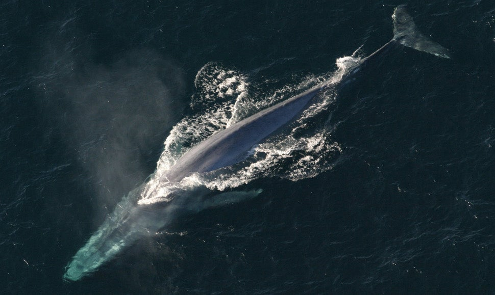 How Blue Whales Are Able to Maintain Their Monstrous Size