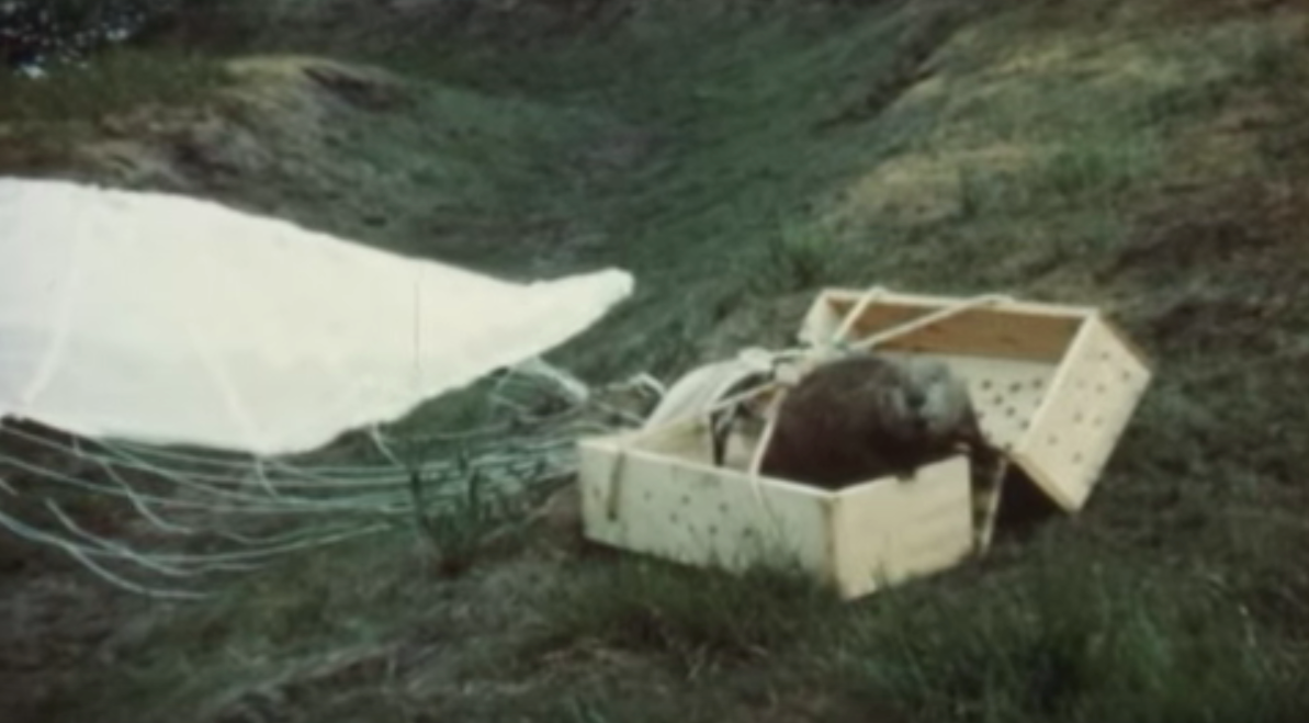 Watch These Parachuting Beavers Spread Across Idaho