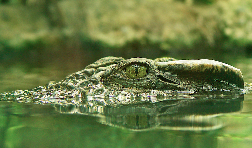 Crocs Keep an Eye on You While They Sleep