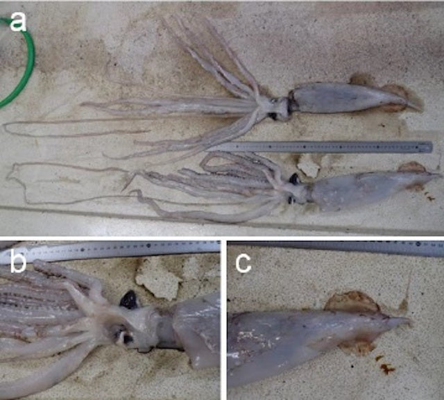 These Are the First Baby Giant Squid Ever Discovered
