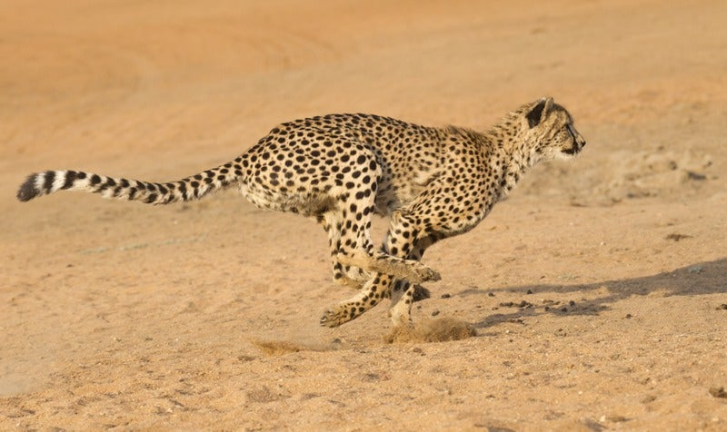 It's Body Length, Not Mass, That Lets the Cheetah Run So Fast