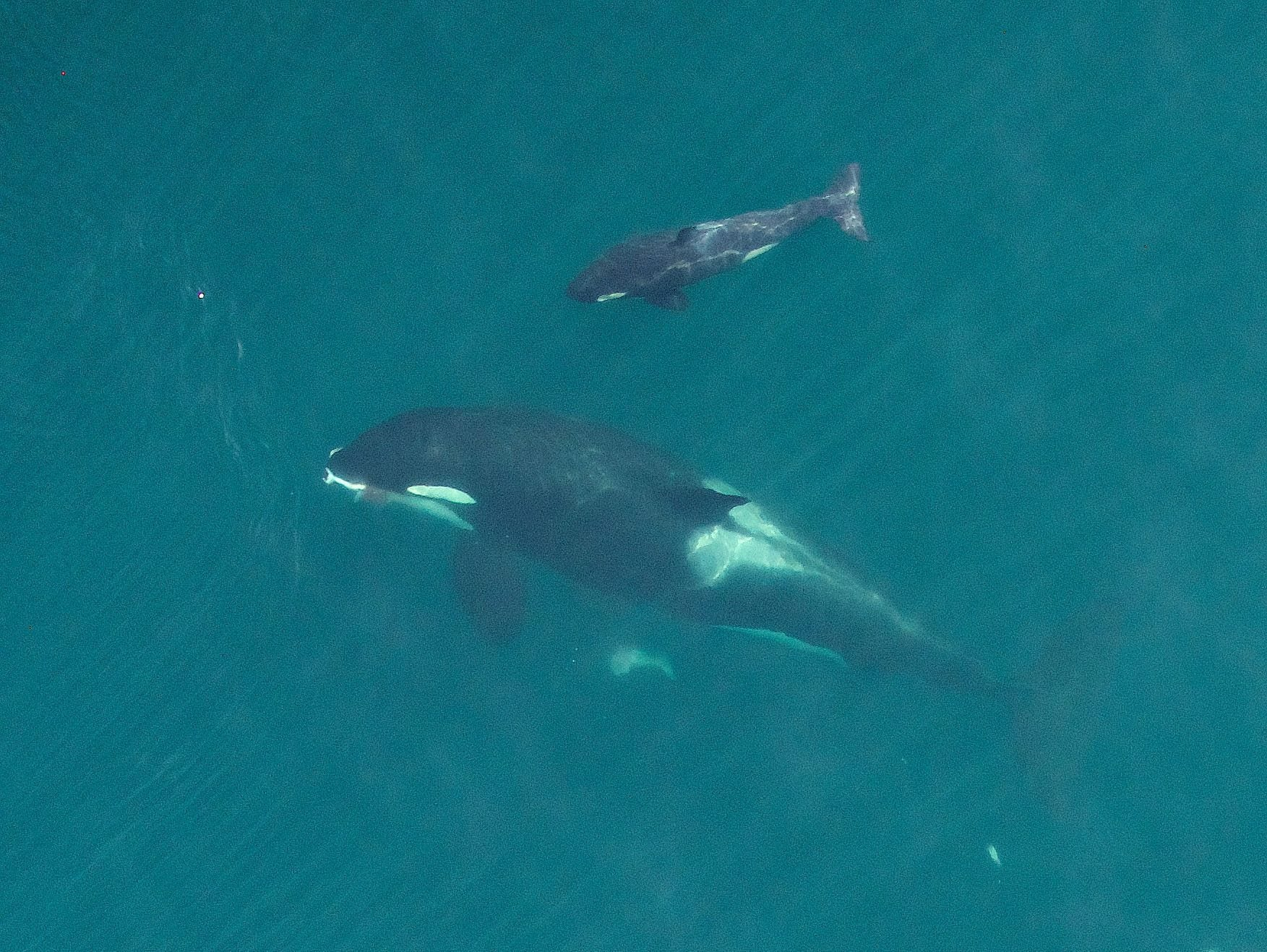 Drone Captures First-Ever Aerial Photos Of Nursing Orca Calf