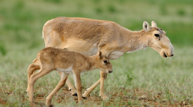 The Mass Die-off of Saiga This Spring Was Much Worse Than We Thought
