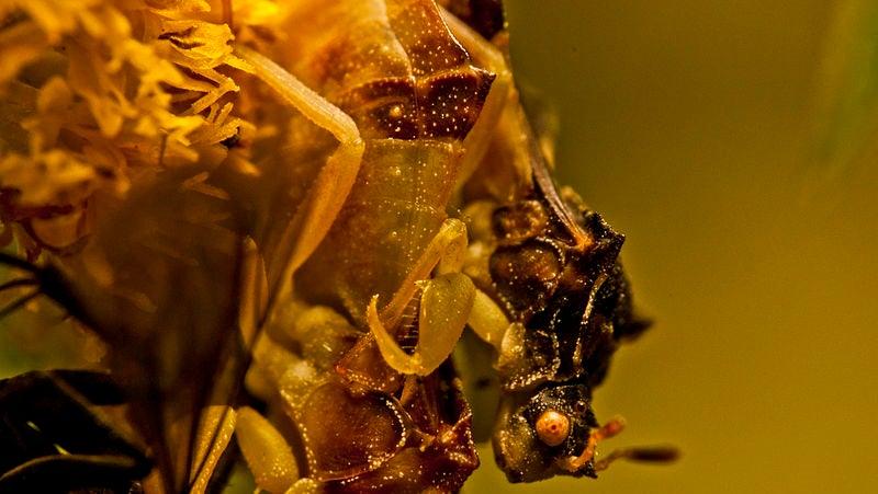 Ninja-Like Ambush Bugs Don't Subsist on Meat Alone
