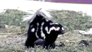 Spotted Skunks Dance Better Than You, Then Spray You in the Face
