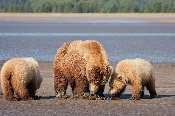 Bears Enjoy Long Walks on the Beach, Munching on Clams