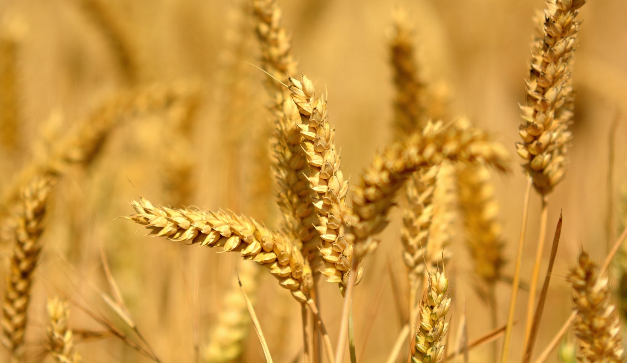 The Bread Lab's Mission To Breed The Best New Wheats