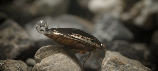 The cool trick beetles use to breathe underwater like scuba divers