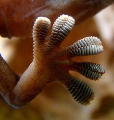 Super-Sticky Gecko Feet Inspire Strapless Bra Design