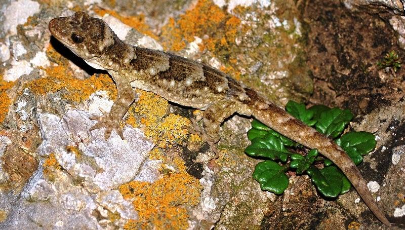 An Extinct Giant Gecko Was Found Stuffed in a Museum Basement