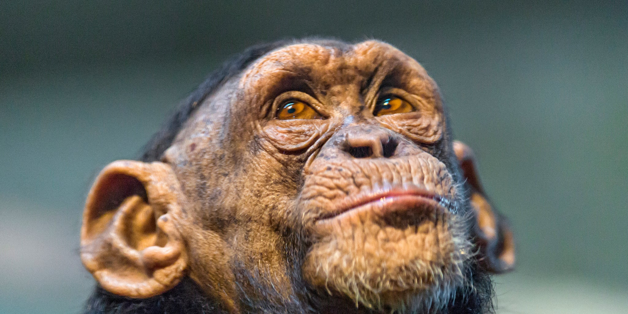 The NIH Is Retiring All of Its Research Chimpanzees