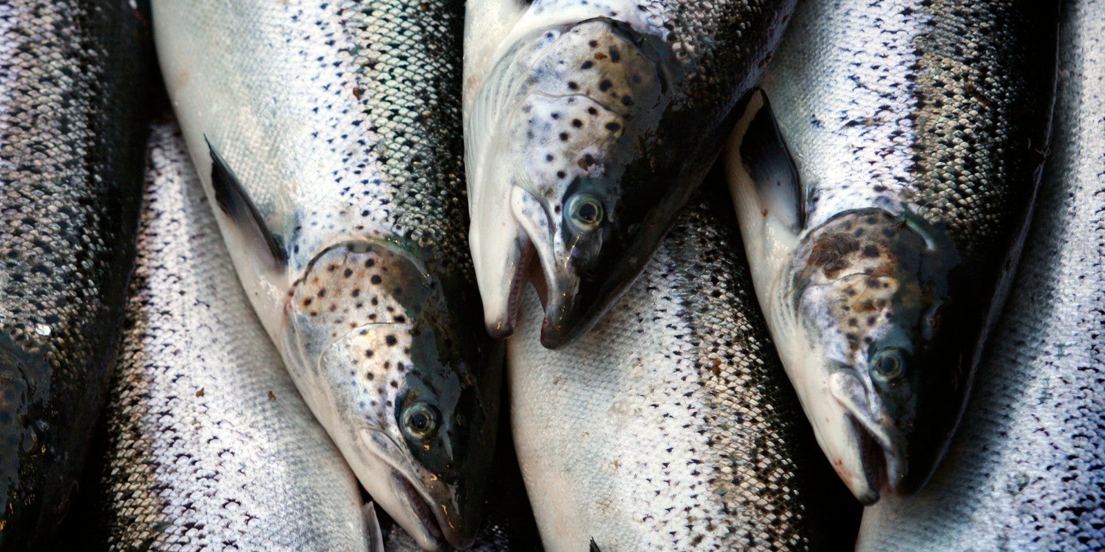FDA Approves Salmon the First GM Animal Safe to Eat, Doesn't Require Labels