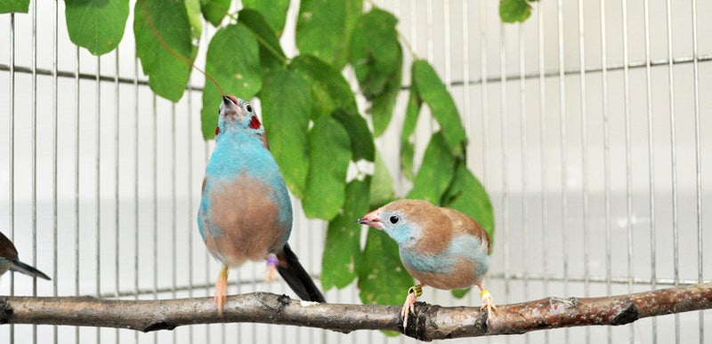 Slow Motion Video Reveals the Rapid-Fire Dance of Courting Songbirds